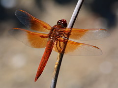Flame Skimmer dragonfly at Alameda Point