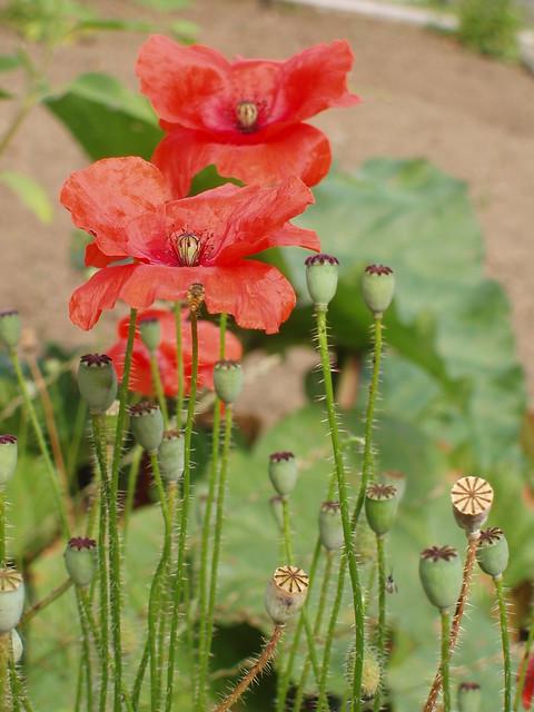 201107100451-poppy-seed-heads