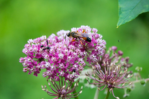 08706 Great Golden Digger Wasp & Thick Headed Fly on Swamp Milkweed