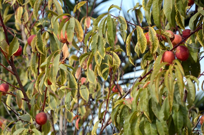 fruta na árvore