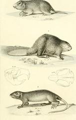 """Image from page 76 of """"Iconographie du règne animal de G. Cuvier, ou, Représentation d'après nature de l'une des espèces les plus et souvent non encore figurées de chaque genre d'animaux : avec un texte descriptif mis au courant de la science : ouvrage po"""