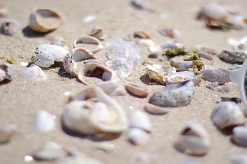 seashells, seashells in the sand, beach, shells on the beach, shells in the sand