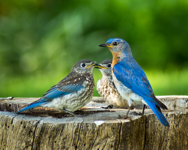 Eastern Bluebirds, Bluebird, Bluebirds, Family,