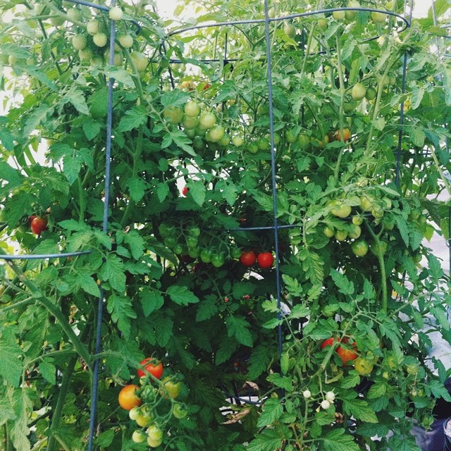 Cherry tomato season is starting! Ready to pick them and pop them in my mouth! #tomato #tomatoes #cherrytomatoes #red #vegetablegarden #rooftop #NYC #Brooklyn #vegetables #healthyeating #garden #gardening #urbanfarming #urbangarden #containergarden #