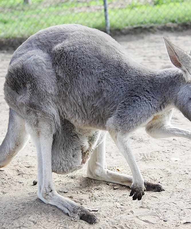 KoalaSanctuary20
