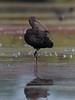 Glossy ibis (Plegadis falcinellus). by SimonBrumby