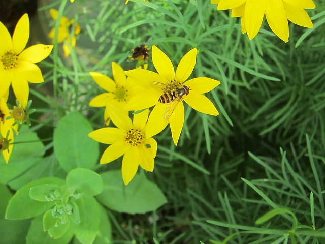 yellow coreopsis with bee-mimic hoverfly