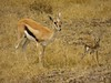 Baby Thomson's gazelle and mother