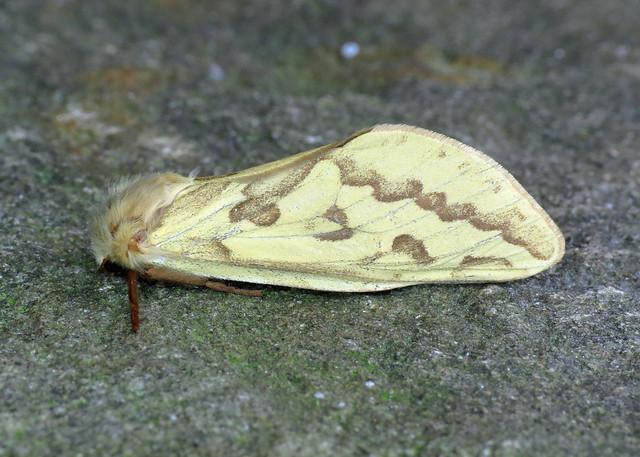 14 Ghost Moth - Hepialus humuli