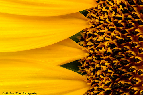 nature sunrise md unitedstates maryland sunflowers poolesville 2013 dangirardphotography