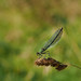 Female Banded Demoiselle Poised