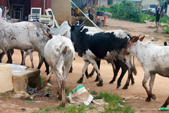 Nigerian Cattle