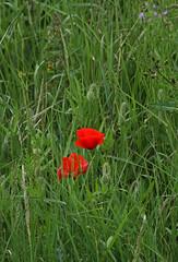 Poppies 230515 4111