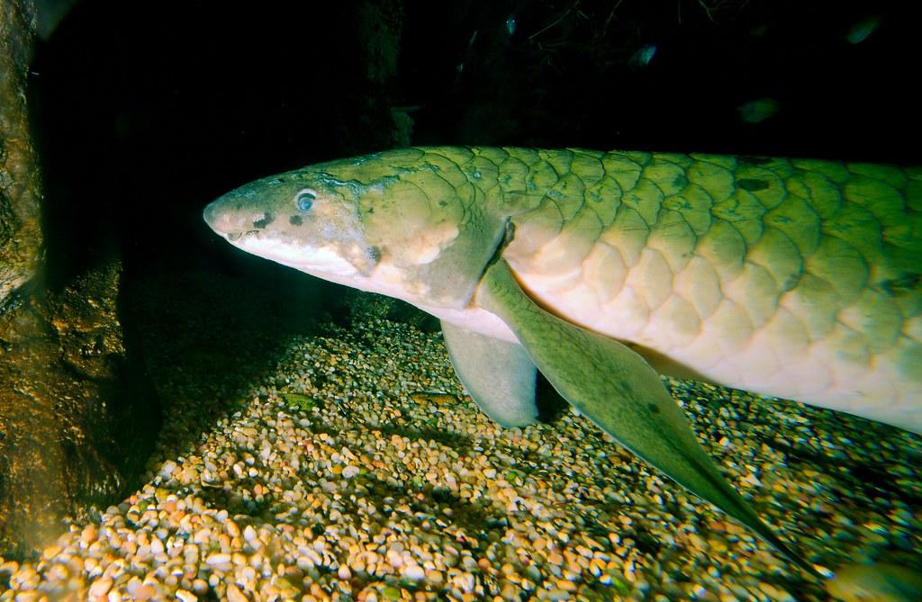 Australian Lungfish