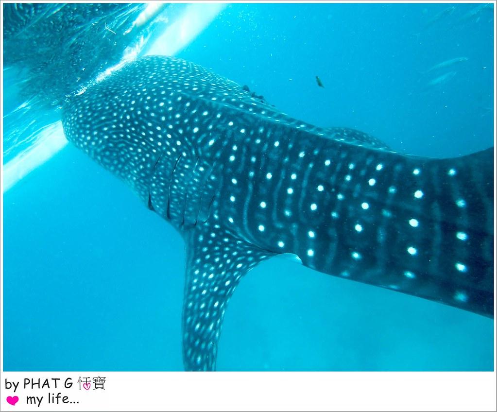 cebu whale shark 17-2