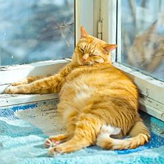 Fat orange cat sleeping on a balcony with sunlight