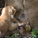 Lion Cubs Playing