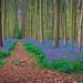 Purple forest @ Belgium by Marcel Tuit | www.marceltuit.nl