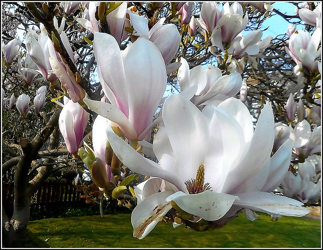 Lovely Magnolia ..