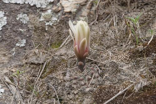 Gymnocalycium quehlianum RB3416