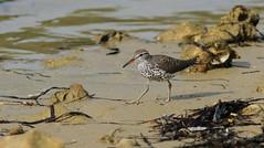 Spotted Sandpiper- Hudson Beach, Florida