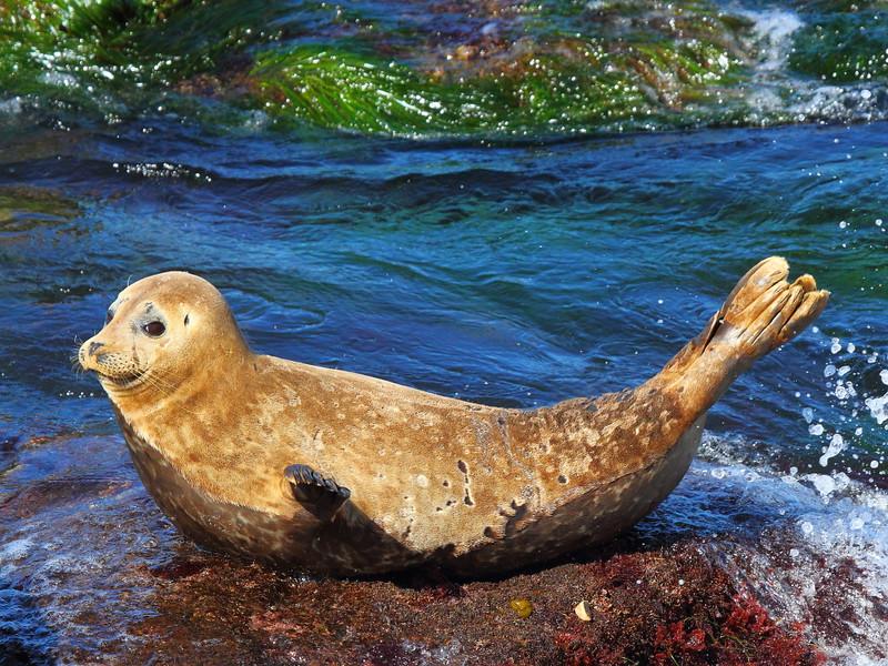 IMG_7384 Harbor Seal at La Jolla