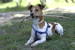 puppy(0.0), dog breed(1.0), animal(1.0), danish swedish farmdog(1.0), dog(1.0), pet(1.0), mammal(1.0), miniature fox terrier(1.0), parson russell terrier(1.0), russell terrier(1.0), jack russell terrier(1.0), terrier(1.0),