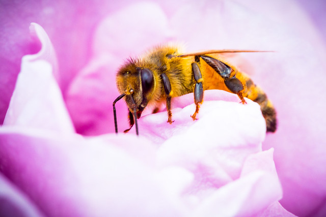 Bee on a Pink Rose at the State Rose Garden Werribee