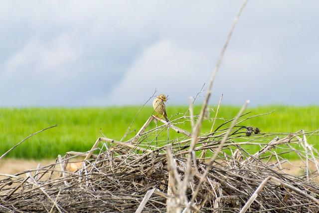 Cute bird (Serin?)