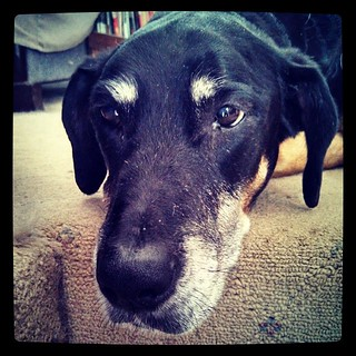 My baby girl its not feeling well again. Breaks my heart when they're sick. Off to see the doc later today... #dobermanmix #seniordog #ilovemydogs #ilovemyseniordog
