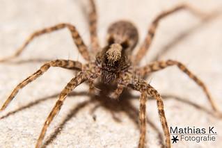 Spinne ganz groß
