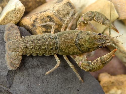 Blackbarred Crayfish