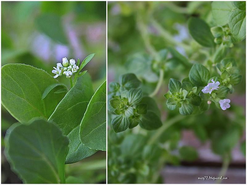 blossoming oregano and arugula - collage