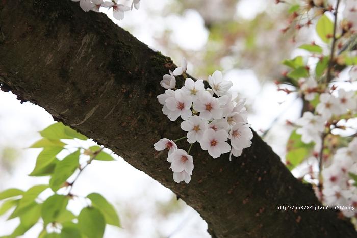 20140502_AomoriSakura_1031 ff