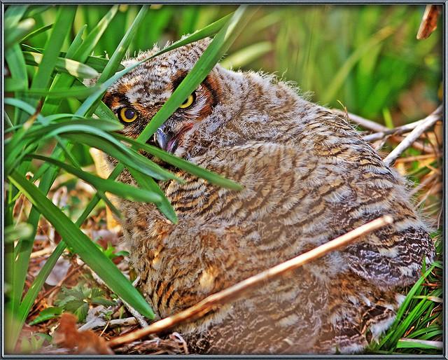Great Horned Owl11111