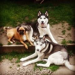 The dream team! My bro Strider, Teddy the puggle and I chilling in the garden. #Huskies #Husky #Puggle #Caleb #Strider #Teddy
