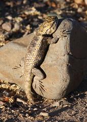 Desert Spiny Lizard 2