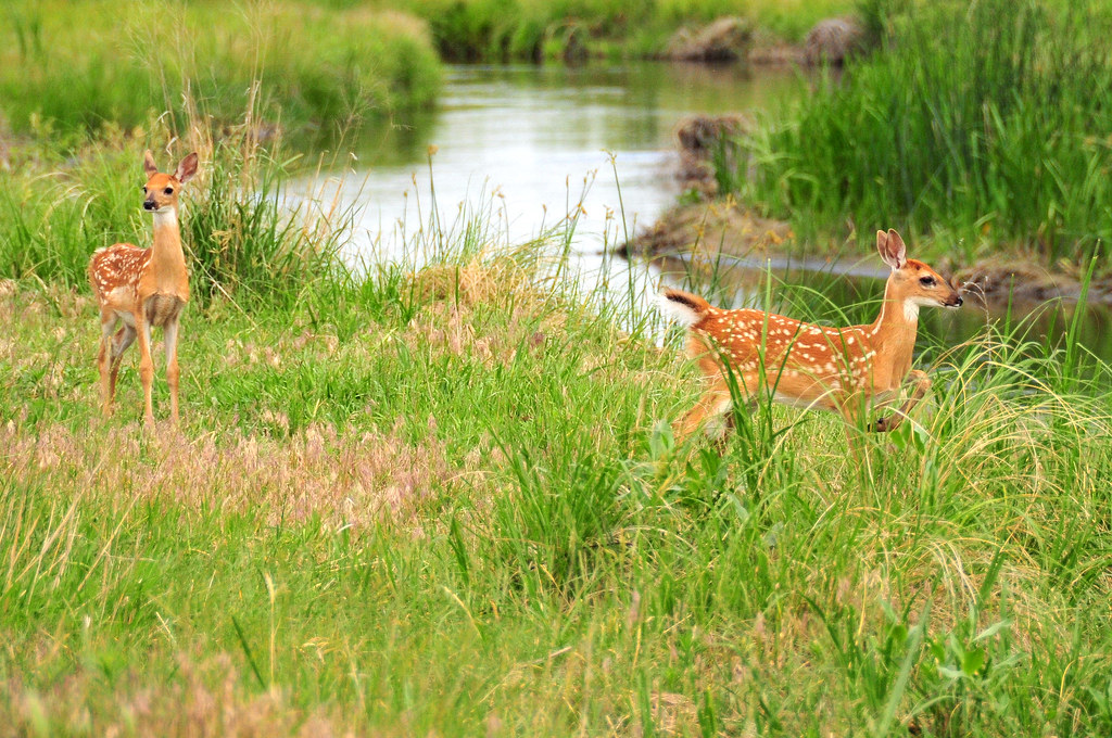 Whitetails: Where Are All The Fawns