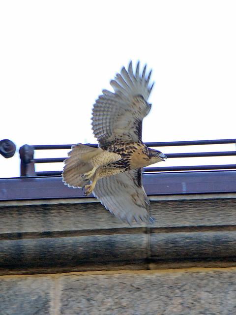 Cathedral Hawk Fledgling (2698)