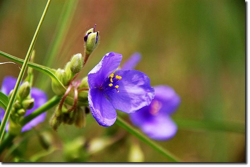 Western Spiderwort 3