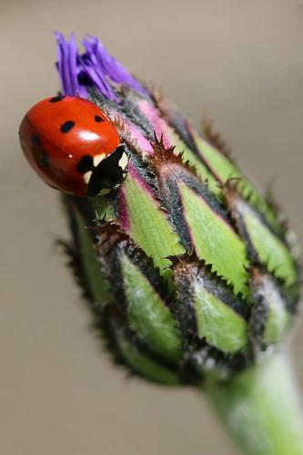 Bug on a Button I (SOTC 102/365)
