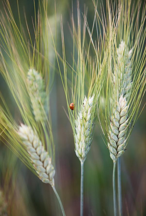 ladybug on barley, wheat field detail, פרת משה רבנו, שדה חיטה, שבועות