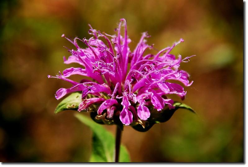 Horsemint Beebalm(Wild Bergamot) 4