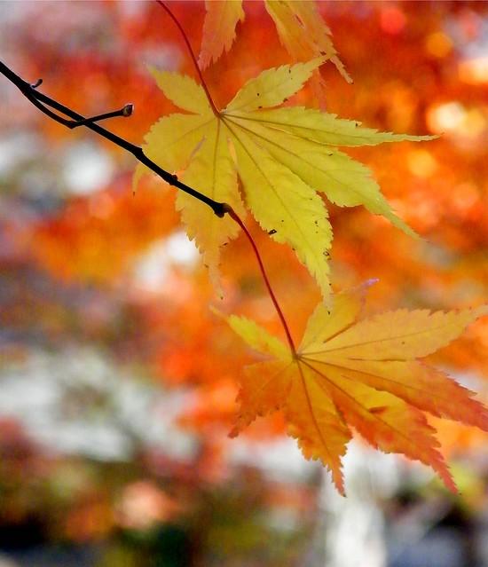 Bokeh Autumn Leaves