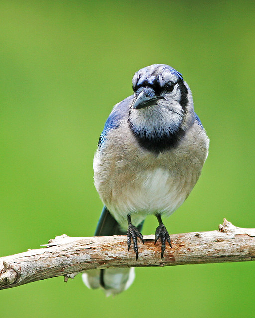 BlueJay Chilling_0745
