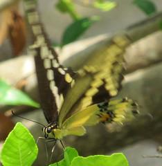 Swallowtail Body