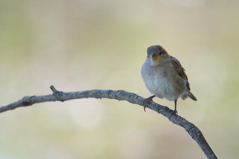 Besoin aide pour identifier petit oiseau 14460988056_66bb39211e_c
