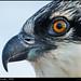 Osprey Chick, MD