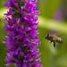 Bee in Flight by Chris McLoughlin