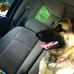 Waiting for Dad. #shepsky #germanshepherddog #husky #dogstagram #dogsofinstagram